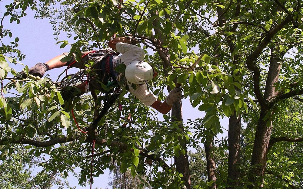 Baumpflegespezialist beim Klettern