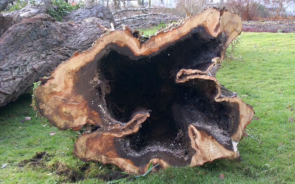 gefällter Baum mit Innenfäule
